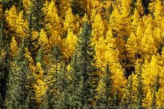 Fall on Weston Pass (Ciavatta Photography) Tags: colorado fairplay leadville westonpass fall leaves gold aspen