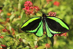 pretty in green (Grenzeloos1) Tags: ornithopteraeuphorion green