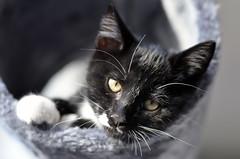 _DSC0162 (Raphistole) Tags: chat chaton kitten d7000 nikon nikkor 50mm f14 bokeh animal pet