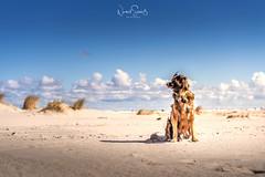 Seelenhund Boomer am Juister Strand (nigel_xf) Tags: boomer seelenhund dog hund hundeliebe juist nordsee insel strand beach sand dunes meer sea vsfototeam nikon d750 nigelxf nigel sun sunshine