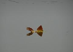 DSC01542 Ein Schmetterling in Herbstfarben...Herbst...minimal...Traumhaft schönes Detail - A butterfly in autumn colors ... Autumn ... minimal ... Fantastically beautiful detail (baerli08ww) Tags: deutschland germany rheinlandpfalz rhinelandpalatinate westerwald westerforest herbst autumn fall detail see seedreifelden lake lakedreifelden reflection spiegelung herbstfarben autumncolors schmetterling butterfly natur