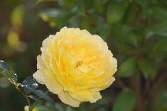Rose jaune (stephane_gregoire) Tags: rose jaune yellow rosa tamron18200mmf3563diiiivc tamron182003p56p3diiiivc tamron18200 bokeh