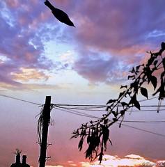 Sunset, and a missile bird photobomb! 😱 (denisekennedy) Tags: birdlife sunrise ireland ireland dublin6 rathgar irishmoment silhouette photobomb goldenoctober october fall groupenuagesetciel