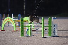 DSC_0270 (klawerjanina) Tags: bunnyjump bunny kani kaniestekisat kanin kaninhoppning