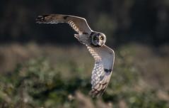Short-eared Owl (Steve D'Cruze) Tags: asio flammeus nikon d500 sigma 150600mm