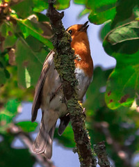 Robin in full song (pootlepod) Tags: wildlife robin birds woodland song life wild forest birdsong rspb habitat raw nature natural fauna faunal autumn autumnal