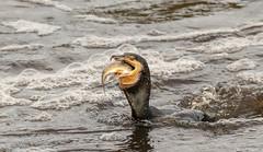 Cormorant Fishing The Weir. (Steve (Hooky) Waddingham) Tags: animal amble coast nature northumberland fishing fish river wild wildlife bird british sea