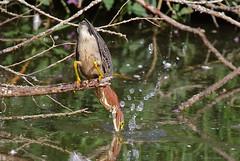 Green Heron - 094A5766b1c (Sue Coastal Observer) Tags: greenheron grhe butoridesvirescens feeding hunting brydonlagoon langley bc britishcolumbia canada