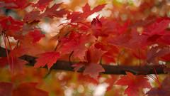 Autumn Bokeh (claudeallaert) Tags: autumn redleaves red closefocusadapter russianlens manualfocus northernontario mapleleaf ilce7m2 industar61ld5528 bokeh