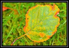 """Autumn Spectrum..."" (NikonShutterBug1) Tags: nikond7100 tokina100mm nature wildlife bokeh spe smartphotoeditor closeup macro leaf autumn fall flora brown foliage green gorgeousgreenthursday leaves 2dwf"