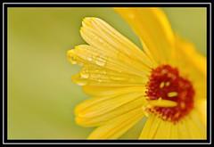 "34/100 for ""100 Flowers 2018"" (NikonShutterBug1) Tags: nikond7100 tokina100mm nature wildlife bokeh spe smartphotoeditor closeup macro flower flora 100flowers2018"