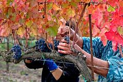 a' fatica (♥iana♥) Tags: vino uva grape vendemmia autunno autumn fall rosso red vite vigna grapevine montemarano avellino campania italia