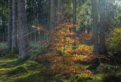 The forest near-by (Claude@Munich) Tags: germany bavaria upperbavaria oberhaching deisenhofen forest wood trees beech fagussylvatica europeanbeech commonbeech deciduoustree autumn autumnal fall sun sunshine sunbeams rays claudemunich bayern oberbayern wald bäume buche rotbuche laubbaum herbstlaub herbst herbstlich sonnenstrahlen