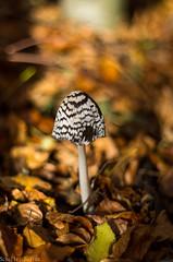 Coprinopsis picacea - Harkály tintagomba (zoltánscheller) Tags: pentax pentaxk5 takumar55mmf18 takumar mushrooms forest nature wildlife