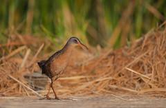 Virginia Rail (nikunj.m.patel) Tags: virginiarail rails nature bird birds avian outdoor naturephotography nikon