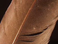 Hamerkop (Scopus umbretta) wing feather close up (shadowshador) Tags: hamerkop scopus umbretta wing feather close up neomura eukaryota opisthokonta holozoa filozoa animalia eumetazoa bilateria deuterostomia chordata vertebrata tetrapoda tetrapod tetrapods amniota diapsida archosauria archosauromorpha aves neornithes neognathae neoaves aequorlitornithes ardeae aequornithes pelecaniformes scopidae taxonomy scientific classification biology ornithology plumology brown bird birds