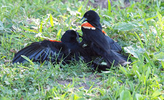 Red-winged Blackbird Death Match 28 (Kaptured by Kala) Tags: agelaiusphoeniceus redwingedblackbird blackbird maleredwingedblackbird whiterocklake dallastexas sunsetbay loud noisy closeup battle fighting territorial aggressive
