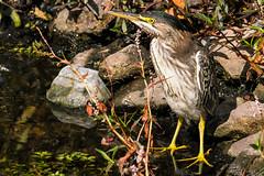 Green Heron (mjeedelbr) Tags: greenheron washington wildlife