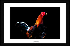 rooster (NadzNidzPhotography) Tags: nadznidzphotography bird animal black blackbackground frame rooster cock
