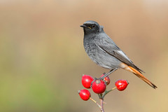 black redstart (leonardo manetti) Tags: bird nature red winter colours naturephotography field natural nikkor countryside green morning black uccello wood forest fields dawn redstart nikon d850