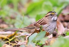 white-throated sparrow near Vernon Springs IA 653A2285 (lreis_naturalist) Tags: whitethroated sparrow vernon springs howard county iowa larry reis