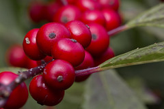 Winterberry (brucetopher) Tags: macromondays remedy red berries holly berry hollyberry deciduous winter fall beauty beautiful attractive nature natural native bunch cluster poison poisonous wholistic herb plant medicinal autumn newengland
