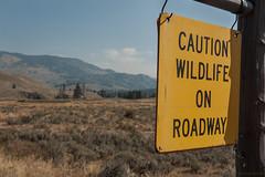 Caution Wildlife (Samuel Raison) Tags: yellowstone yellowstonenationalpark ynp cautionwildlifeonroadway bison bisons buffalos buffalo road route nikkor nikon nikond3 nikond800 nikon282470mmafsg