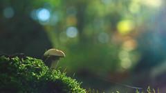 Fungi Photography - Bokeh Background (Visual Stripes) Tags: fungi fungus mushroom nature forest autumn bokehlicious bokeh microfourthirds mft m43 35mmmacro mzuiko panasoniclumixg2 panasonic olympus