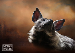 Scenting the Air (Debi Dalio) Tags: hyena animal mammal carnivore wildlife photography portrait brown