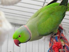 Ring Necked Parakeet (Diko G.W.) Tags: eastyorkshire carnaby bridlingtonanimalpark ringneckedparakeet nikonp900