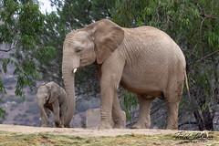 Mkhaya (ToddLahman) Tags: littlebabygirl female mammal escondido elephants elephantvalley elephant elephantbaby baby outdoors canon7dmkii canon canon100400 closeup portrait babysitter sandiegozoosafaripark safaripark mkhaya