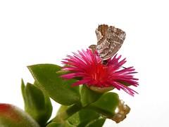 La licenide dei gerani (fotomie2009) Tags: insect insecta insetto farfalla butterfly flower fiore flora cacyreus marshalli licenide aptenia cordifolia lycaedinae