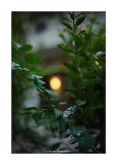 2018/9/22 - 6/24 photo by shin ikegami. - SONY ILCE‑7M2 / Carl Zeiss C Sonnar T* 1.5/50 ZM (shin ikegami) Tags: 虫 蝶々 butterfly 井の頭公園 吉祥寺 autumn 秋 sony ilce7m2 sonyilce7m2 a7ii 50mm carlzeiss sonnar csonnar50mmf15 tokyo sonycamera photo photographer 単焦点 iso800 ndfilter light shadow 自然 nature 玉ボケ bokeh depthoffield naturephotography art photography japan earth asia