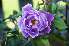 DSC_2006 (PeaTJay) Tags: nikond750 sigma reading lowerearley berkshire macro micro closeups gardens outdoors nature flora fauna plants flowers rose roses rosebuds