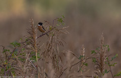9Q6A5433 (2) (Alinbidford) Tags: alancurtis brandonmarsh nature stonechat wildbirds wildlife