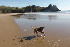 Reba at Three Cliffs Bay (andreboeni) Tags: reba boxer dog chien hund perros hunden dogs chiens threecliffs bay beach coast line cliff cliffs rocks scenery sea gower peninsula wales southwales