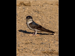 House Martin (Paul West ( pwest.me )) Tags: nature fox fourspottedchaser house martin housemartin bird countryside riverside dorset