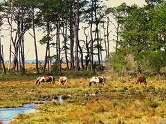 018(2) Chincoteague Ponies (baypeep) Tags: pony chincoteague