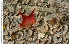 Red Maple Leaf On Tree Fungus (jwvraets) Tags: rockway rockwayfallsconservationarea niagararegionconservationauthority forest niagaraescarpment niagara stcatharines mapleleaf redleaf red redrule log fungus turkeytailfungus trametesversicolor fallcolour fall autumn opensource rawtherapee gimp nikon d7100 tamron90mmf28macro11272e