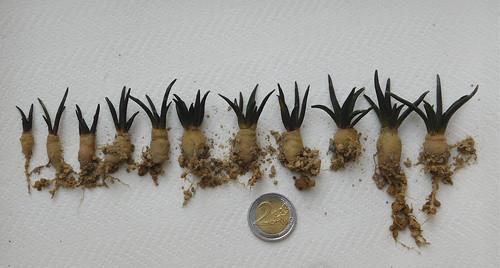 Ariocarpus agavoides PP208 seedlings
