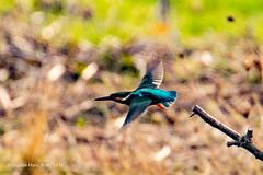 Kingfisher Flight (SLHPhotography1990) Tags: 2018 hersey nature november reserve king fisher flight fly british bird birding birds isle wight
