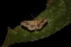 Idaea (dustaway) Tags: arthropoda insecta lepidoptera geometridae mounttamborine tamborinemountain sequeensland queensland australia nature australianinsects australianmoths sterrhinae idaeaef01