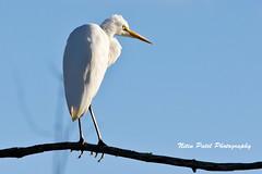 IMG_0036 (nitinpatel2) Tags: bird nature nitinpatel