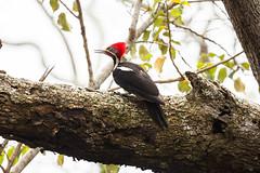 Lineated Woodpecker (Dryocopus lineatus) (Sergey Pisarevskiy) Tags: lineatedwoodpecker dryocopuslineatus bolivia southamerica birds birdwatching wildnature wildlife