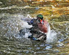 Wood Duck: Stirring Things Up! (Jim Nall) Tags: avian duck waterfowl wood louisville kentucky