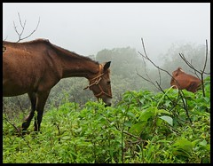 Horse in the middle of nowhere! (indianature13) Tags: matheran biosphere 2018 september monsoon maharashtra india westernghats nature indianature nearmumbai forest jungle hills mountains 700m cloud mist flora wildflora monsoonflora panoramapointhike panoramapoint