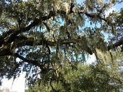 Oak tree (skooksie) Tags: tree moss oaktree neworleans audubonzoo