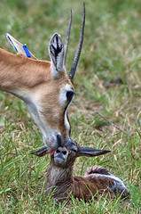 Mom cleaning calf (ucumari photography) Tags: ucumariphotography thomsonsgazelle animal mammal richmond virginia va zoo october 2018 eudorcasthomsonii newborn calf dsc0240 specanimal