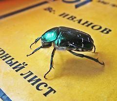 Бронзовик (lvv1937) Tags: жук бронзовик зелёный bug insect nature cetoniaaurata greenrosechafer beetle wearefromyandexмыизяфа мыизяфа exploré