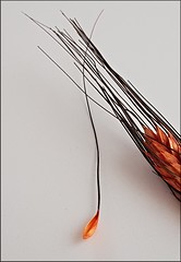 Un chicco di grano (Aellevì) Tags: spiga estate oggettopiccolo baffi